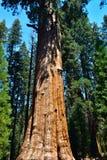 Гигантские огромные деревья секвойи Стоковые Изображения