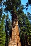 Гигантские огромные деревья секвойи Стоковые Фотографии RF