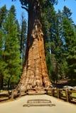 Гигантские огромные деревья секвойи Стоковое Изображение