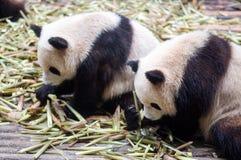 Гигантские панды есть бамбук Chendu Стоковое фото RF
