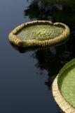 гигантские пусковые площадки лилии Стоковые Фотографии RF