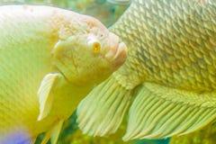 Гигантские рыбы осфронемовых (Osphronemus goramy), вид большого goura Стоковая Фотография