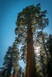 Гигантские секвойи в национальном парке секвойи, Калифорнии, США Стоковое Изображение