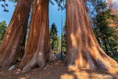 Гигантские секвойи в национальном парке секвойи Стоковые Изображения RF