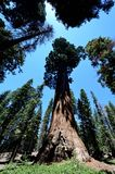 Гигантские секвойи в национальном парке секвойи, CA, США Стоковые Фото