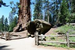 Гигантские секвойи в национальном парке секвойи, CA, США Стоковая Фотография RF