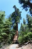 Гигантские секвойи в национальном парке секвойи, CA, США Стоковое Изображение