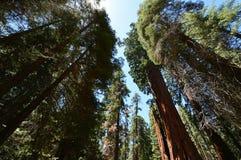 Гигантские секвойи в национальном парке секвойи, CA, США Стоковое Фото