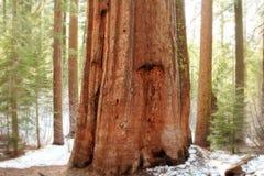 гигантские секвойи yosemite национального парка Стоковая Фотография