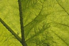 гигантские структуры ревеня листьев Стоковые Изображения