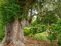 Гигантские дубы в саде Стоковые Изображения