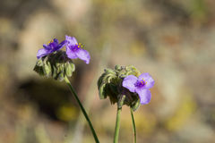 Гигантские цветеня Spiderwort и стручок цветеня Стоковое Изображение