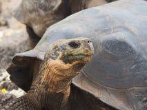 Гигантские черепахи в островах Галапагос, эквадоре: перемещение и туризм стоковое фото