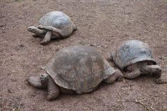 Гигантские черепахи на Маврикии Стоковые Фотографии RF