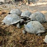 гигантские черепахи Стоковая Фотография