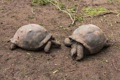 гигантские черепахи Стоковые Изображения