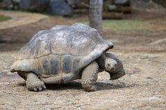 Гигантские черепахи, gigantea dipsochelys в тропическом острове Маврикии стоковые фото