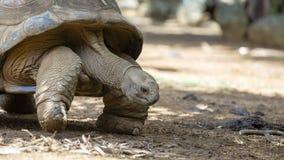 Гигантские черепахи, gigantea dipsochelys в тропическом острове Маврикии стоковые изображения