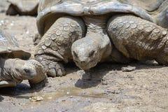 Гигантские черепахи, gigantea dipsochelys в тропическом острове Маврикии стоковая фотография rf