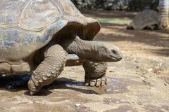 Гигантские черепахи, gigantea dipsochelys в тропическом острове Маврикии стоковое фото