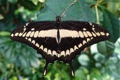 Гигантские cresphontes Papilio бабочки swallowtail, конец вверх, деталь Стоковые Изображения RF
