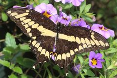Гигантские cresphontes Papilio бабочки swallowtail Стоковое фото RF