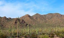 Гигантские Saguaros, национальный парк Saguaro Стоковое Фото