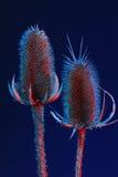 гигантские thistles Стоковое Фото