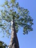 Гигантский баньян на заходе солнца Стоковое фото RF