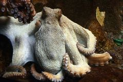 гигантский восьминог pacific Стоковое фото RF