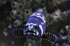 гигантский вытаращиться grouper Стоковые Изображения RF