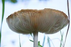 Гигантский гриб Стоковое Изображение