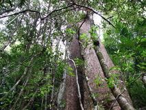 гигантский дождевый лес Стоковая Фотография