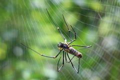 Гигантский деревянный паук Стоковые Изображения