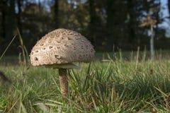Гигантский зонтик гриба парасоля Стоковые Изображения RF