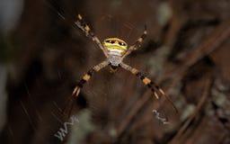 Гигантский золотой паук ткача шара в северном Таиланде Стоковое Фото