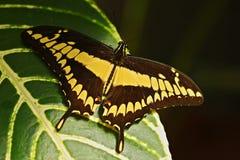 Гигантский кабель ласточки, nealces thoas Papilio, красивая бабочка от Мексики Бабочка сидя на листьях Бабочка от Mexixo Стоковые Изображения RF