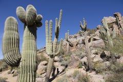 Гигантский кактус Saguaro Стоковое фото RF
