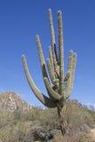 Гигантский кактус Saguaro Стоковая Фотография