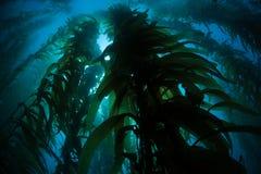 Гигантский келп растя подводный в Калифорнии стоковые фотографии rf
