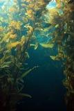 гигантский келп Стоковая Фотография