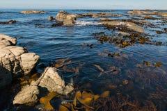 Гигантский келп плавая в океан стоковая фотография rf