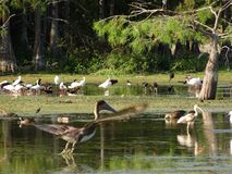 гигантский коричневый пеликан Стоковая Фотография