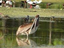 гигантский коричневый пеликан Стоковая Фотография RF