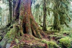 Гигантский мох пня дерева красного кедра покрыл тропический лес Hoh роста Стоковое Изображение RF