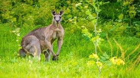 Гигантский мужской кенгуру изгибая свои мышцы с некоторой травой в рте, сигналит внутри видеоматериал