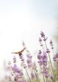 Гигантский одуванчик с пастельными тенями Стоковые Фото