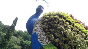 Гигантский павлин Стоковая Фотография RF