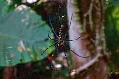 Гигантский паук Nephila Pilipes древесин, паук человеческого лица с красивой и совершенной сетью на следе следа Linmei Shihpan на стоковые фото