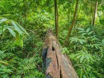 Гигантский пиломатериал дерева в естественном стоковое изображение rf
